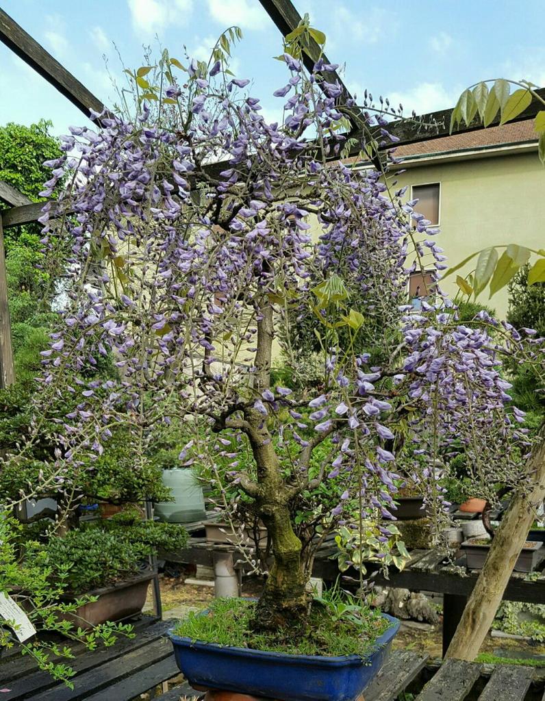 Albonsai fiori piante bonsai